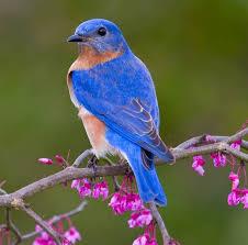 Audubon Backyard Bird Count by Northwest Arkansas Audubon Society Audubon U0027s Great American Bird