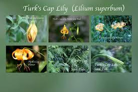 Turks Cap Turk U0027s Cap Lily