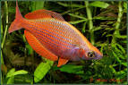 Image result for Glossolepis multisquamata