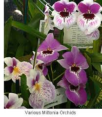 orchid plants for sale buy orchid plants miltonia orchid the pansy orchid for sale in