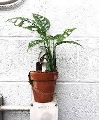 monstera obliqua la botanique pinterest plants dream