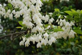 trees with white flowers flowering trees archives snow creek landscaping