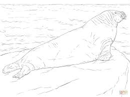 walrus coloring page free printable coloring pages