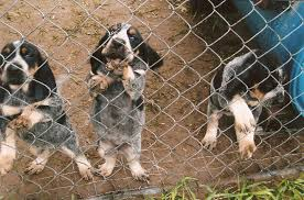 bluetick coonhound puppies for sale high country bluetick cameron bluetick puppies for sale high