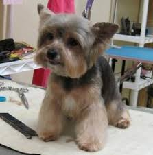 types of yorkie haircuts yorkies with lamb cuts google search haircuts for kenai
