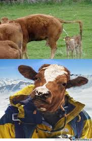Funny Cow Memes - cow memes best collection of funny cow pictures