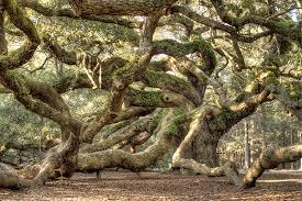 oak tree live oak tree tree of dustin k