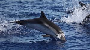 15 facts about striped dolphin that you didn u0027t know youtube