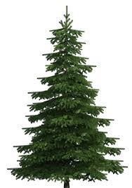realistic pine tree png clip best web clipart