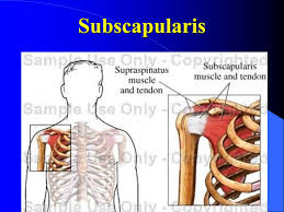 Subscapularis And Supraspinatus The Shoulder Joint Glenohumeral Joint Ppt Video Online Download