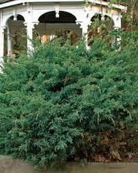 how to prune conifers gardening
