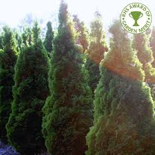ornamental evergreen trees all ornamental trees view all evergreen