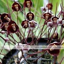 monkey flowers 1 professional pack approx 50 seeds pack dracula