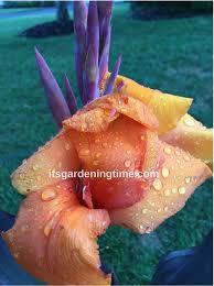 pruning tropical cannas prune flowers it u0027s gardening time
