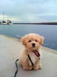 bichon frise fluffy facts about teddy bear dogs teddy bear dogs bichon frise and