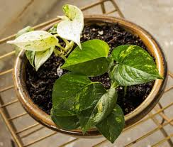 plants that don t need light very low light houseplants the golden pothos has lovely marbled