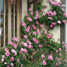 Climbing Plants For North Facing Walls - roses ideal for shady areas david austin roses