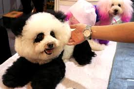 bichon frise golf head cover china u0027s pet trend dogs primped to look like pandas new york