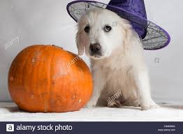 white golden retriever puppy with a witch hat sitting next to one