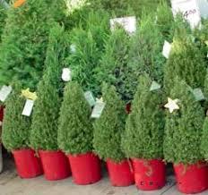 live christmas tree live christmas trees