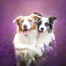australian shepherd quiz 18 dogs awkwardly hugging