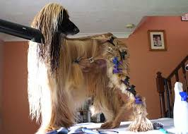 afghan hound walking grooming the breed the afghan hound association