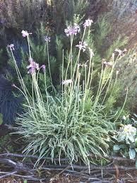 pennsylvania garden plant profile tulbaghia violacea