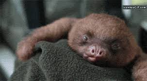 Angry Sloth Meme - sleepy baby sloth the meta picture