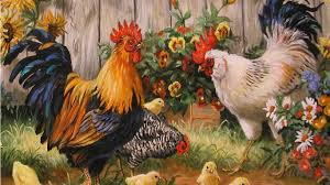 superb photos rooster wallpapers amazing rooster images