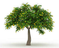 how to plant cold resistant fruit trees landscapers talk local
