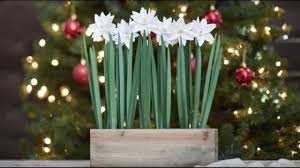 Joann Fabric Diy Paperwhites Lia Griffith Holiday Flowers U0026 Greens For Joann