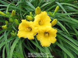 stella daylily daylily hemerocallis mini stella in the daylilies database