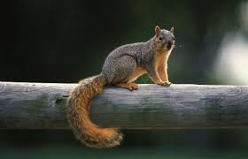 How To Hunt Squirrels In Your Backyard by Squirrel Control Missouri Department Of Conservation