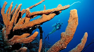 Azure Vase Sponge Facts Sponges Sponge Characteristics Thinglink The Sponge Guide Sponge