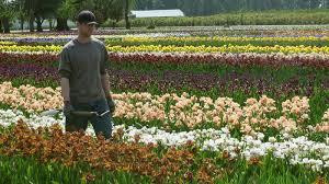 schreiner u0027s iris gardens iris bulbs iris plants