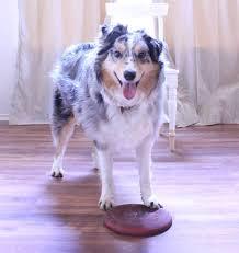 australian shepherd frisbee austin dog training australian shepherd loves catching the
