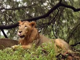 Sri Lanka Flag Lion Mysuru Zoo Mysuru Zoo Readies To Breed Asiatic Lions Mysuru