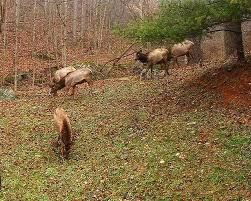 Kentucky wildlife tours images Elk tours offered at two state parks weku jpg
