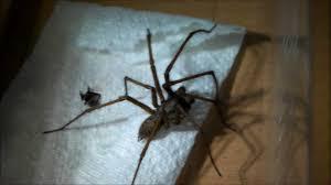 giant house spider handling uk youtube