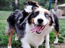 australian shepherd vs english shepherd english bulldog australian shepherd mix dog and cat
