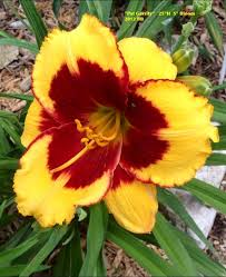 Day Lillies Day Lily Name Unknown Garden My Day Lily Pinterest