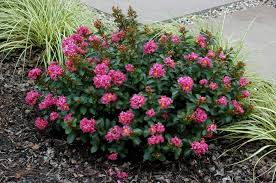 Purple Leaf Peach Tree by The Crape Myrtle Company The Crape Myrtle Company Buy Minature
