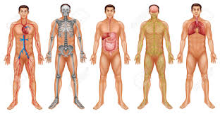 Human Anatomy And Body Systems Chart Of Human Body System Royalty Free Cliparts Vectors And