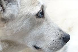 Causes Of Sudden Blindness In Dogs Liver Disease In Dogs Causes Symptoms Stages And More
