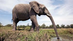 bbc earth why the elephant has a long trunk