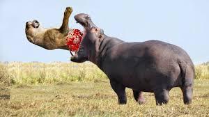 pictures of a hippo wallpaper download cucumberpress com