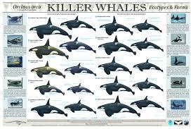 november birth animal killer whale u003cem u003e orcinus orca u003c em u003e noaa fisheries