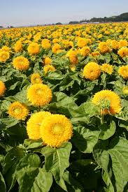 teddy sunflowers silver falls seed company sunflower sungold teddy