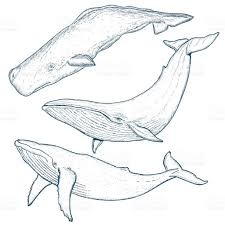 whales set humpback whale blue whale stock vector art 608631662