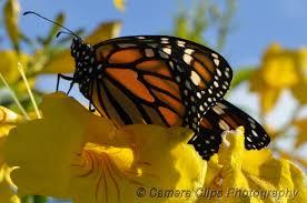 Monarch Migration Map Blog